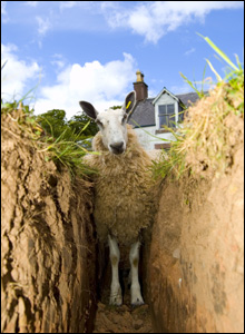 sheep in ditch